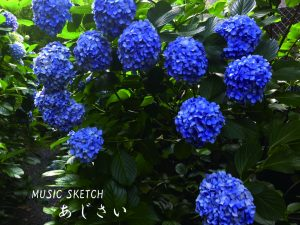 紫陽花 <br>更新日:2016年6月更新の画像